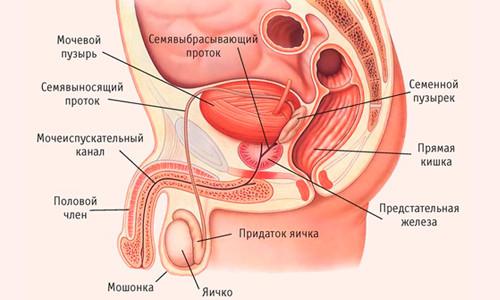 Устройство предстательной железы