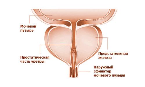 Простата