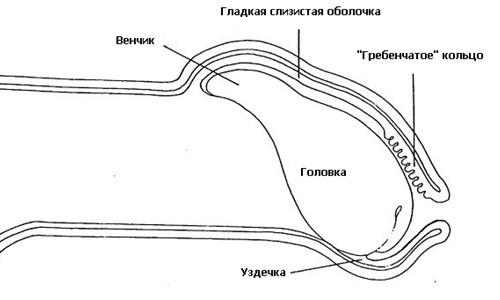 Схема расположения уздечки