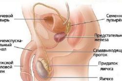 reproduktivnay sistema