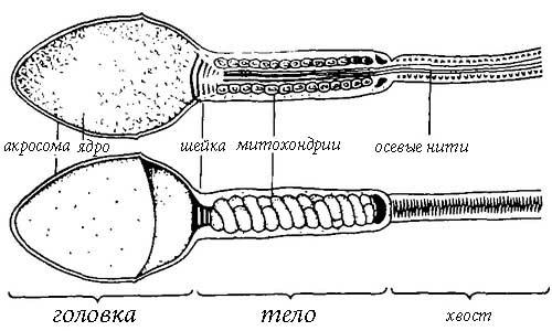 Строение сперматозоидов