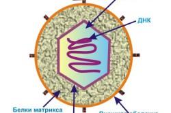 Строение вируса герпеса