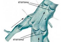 Рисунок 2. Вены обратных клапанов