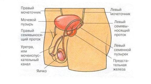 Органы мочеполовой системы
