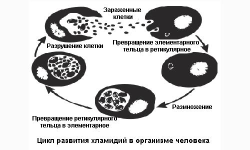 Цикл развития хламидий в организме человека