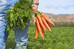 Включение в рацион моркови