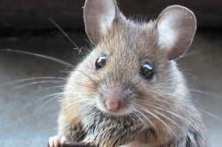 Мышь - переносчик заболевания