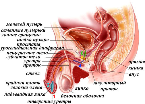 Строение органов малого таза мужчины