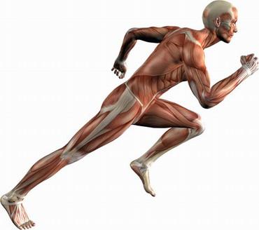 Работа мышц при беге