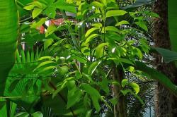 Растение корицы