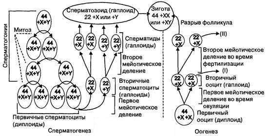 Схема сперматогенеза и оогенеза