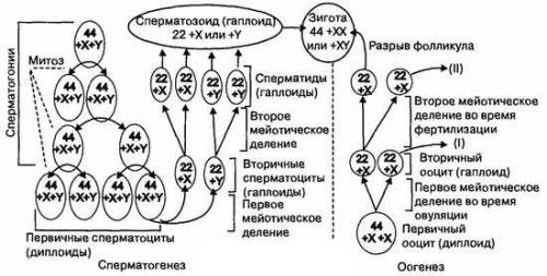 Как увеличить сперматогенез