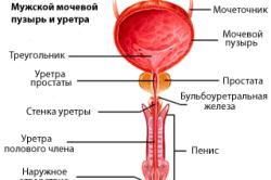 Уретра и мочевой пузырь