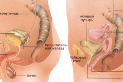 Мочевой пузырь у мужчин и женщин