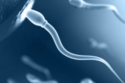 Развитие сперматозоидов
