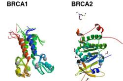 Гены BRCA1 и BRCA2
