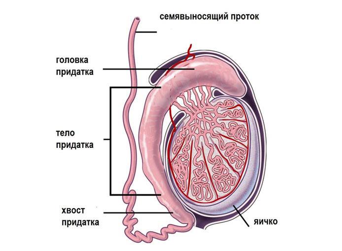 Орхоэпидидимит -воспаления яичка и придатка