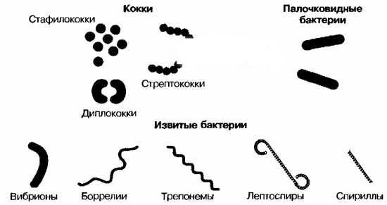 Кокки - возбудители инфекции баланопостита