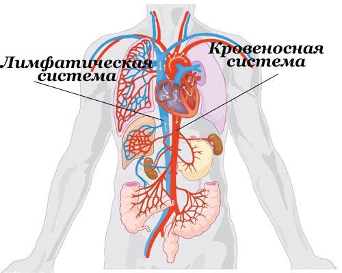 Лимфатическая и кровеносная системы