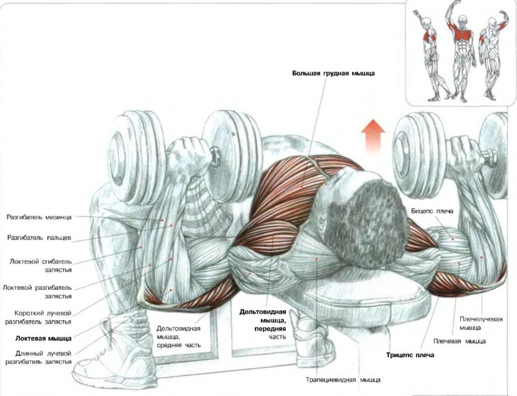 Группы мышц, которые работают при жиме гантелей лежа