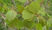 Как применяется дубовина осины возле аденоме простаты?