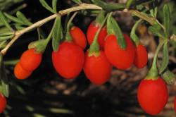 """Плоды дерезы китайской, входящие в состав препарата """"Оргазекс"""""""