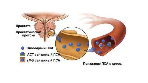 Простатспецифический антиген