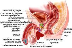 Строение мочеполовой системы у мужчин