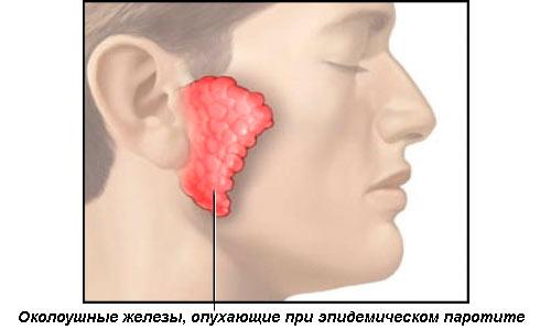 Околоушные слюнные железы