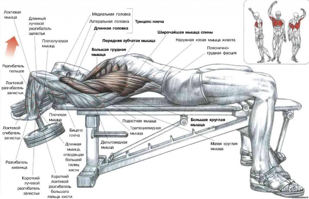 Мышцы в организме мужчины