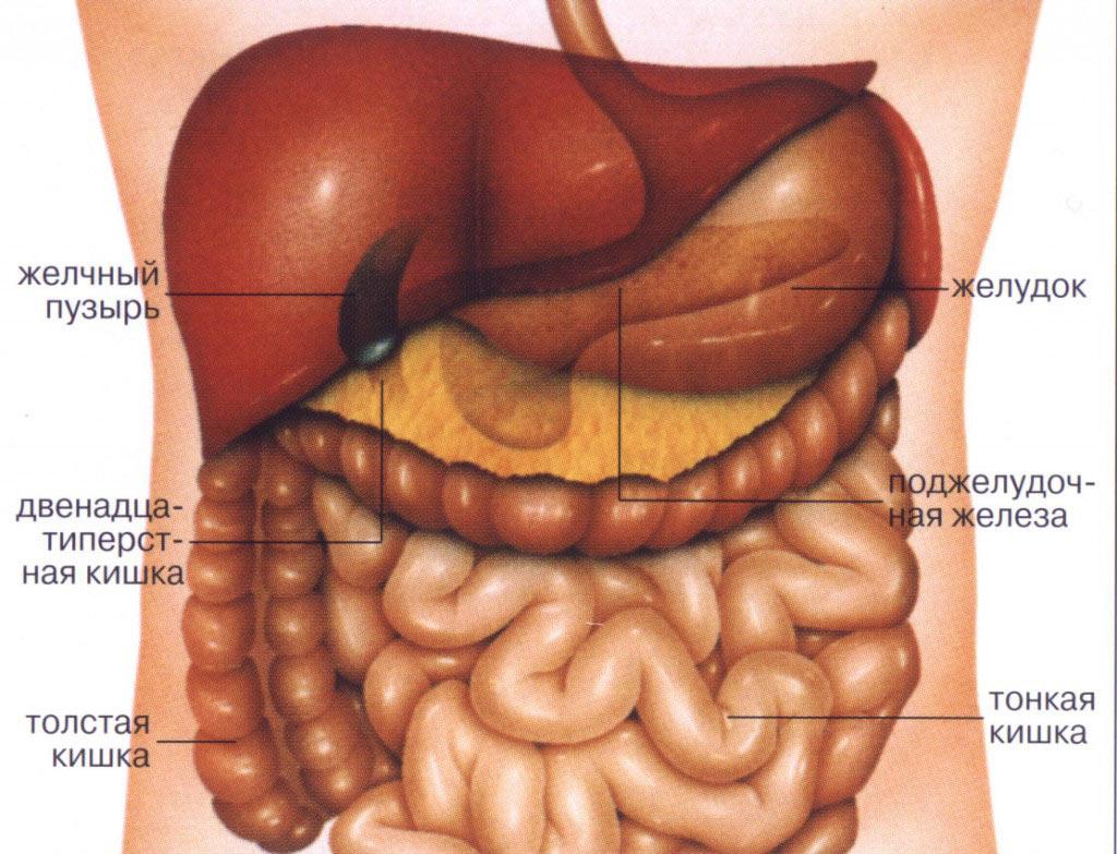 Строение кишечника мужчины