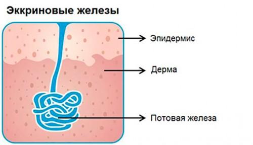 Эккриновые железы