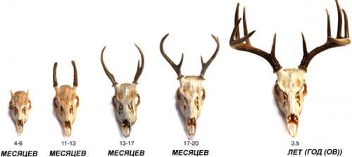 Панты оленей по возрасту