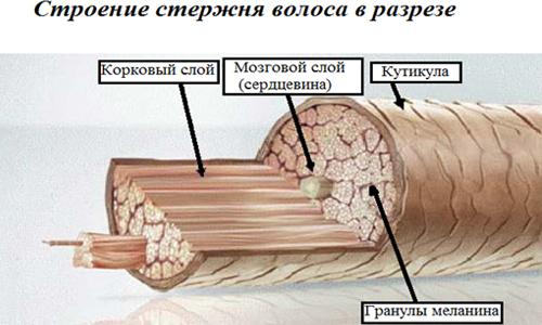 Строение стержня волоса