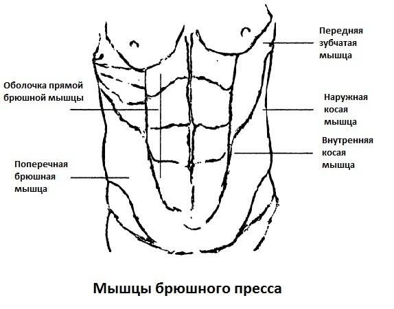 Мышцы брюшного пресса
