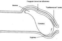 Схема строения мужского пениса: венчик, гладкая слизистая оболочка, гребенчатое кольцо, головка, уздечка