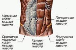 Анатомическое строение пресса