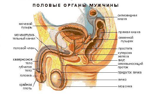 Строение мужской мочеполовой системы