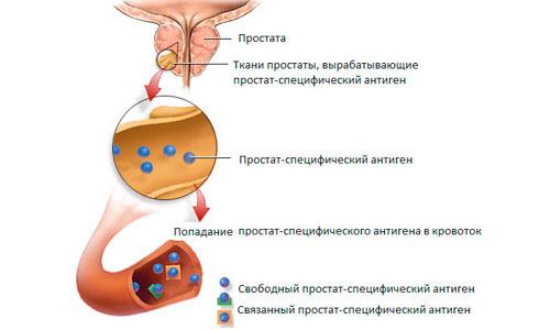 Простатический специфический антиген