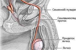 Схема мужских половых органов